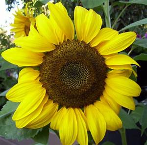 KHS: Plant Library: Sunflower - Helianthus annuus
