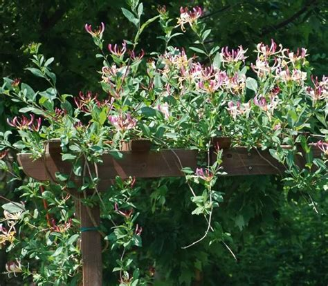 Buy Honeysuckle Climbing Plants At Wholesale Prices In Ireland