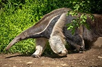 Giant Anteater Free Stock Photo - Public Domain Pictures