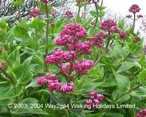 Herbs & Supplements - Valerian Root, Herb and Tea Benefits  Depression Valerian