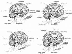 Free Brain Diagram  Download Free Clip Art  Free Clip Art