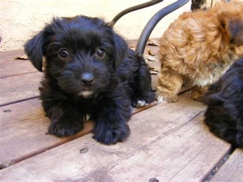 tiny dogs that dont shed and stay small dog breeds picture