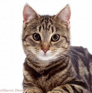 Wp02395 portrait of brown spotted tabby male cat lowlander ...
