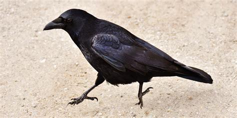images gratuites aile faune le bec noir saut tour