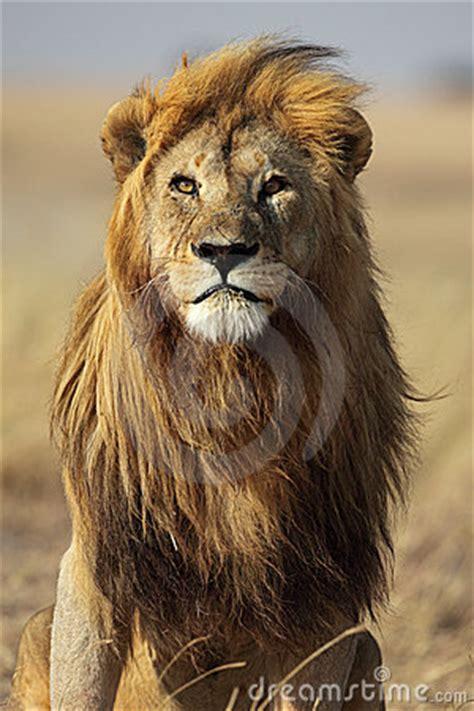 lion  golden mane serengeti tanzania stock image