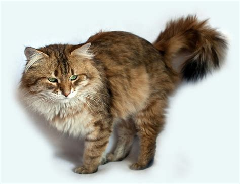 all cat breeds a z with pictures cats types