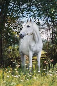Weißer Schimmel Auf Blumenerde : weisser lusitano wallach steht zwischne b umen im gras schimmel pferd bilder foto ~ Eleganceandgraceweddings.com Haus und Dekorationen