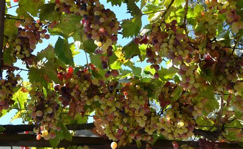 vigne treille  raisin vitis vinifera plantation