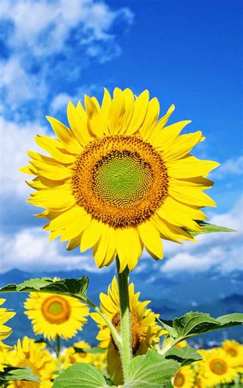 sunflower mobile wallpaper gallery