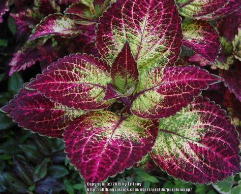different varieties of coleus coleus plant care and collection of varieties garden org