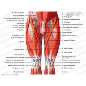 Anterior Hip and Thigh Muscles Anatomy