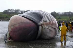 World's biggest heart: 180kg of blue whale