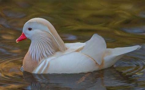 Albino Mandarin Duck