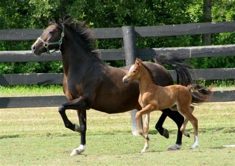 hackney pony ponies horse crown breed shows days horses jewel natural filly characteristics ability she