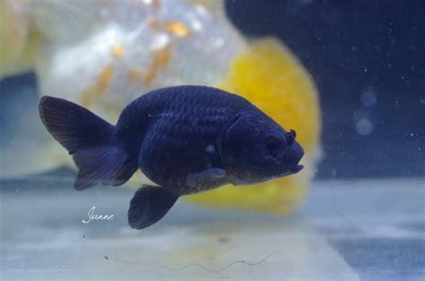 reproduction de mes poissons japonais en bassin page 7