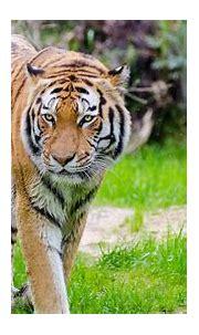 Tiger 4K Wallpaper   HD Wallpapers
