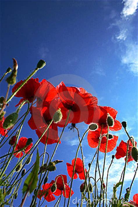 poppy flower royalty  stock  image