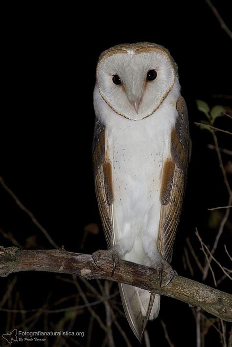 barbagianni tyto alba barn owl
