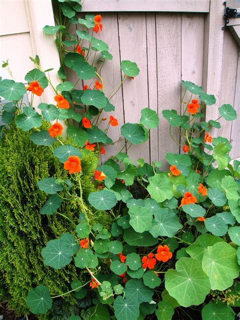 Garden Nasturtium by Renee S Garden Spitfire Nasturtium Update Nasturtiums