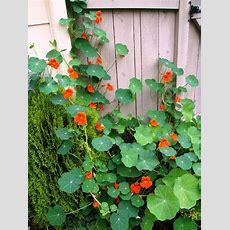 Renee's Garden 'spitfire' Nasturtium Update! Nasturtiums