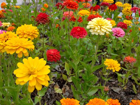 zinnias pictures  pin  pinterest pinsdaddy