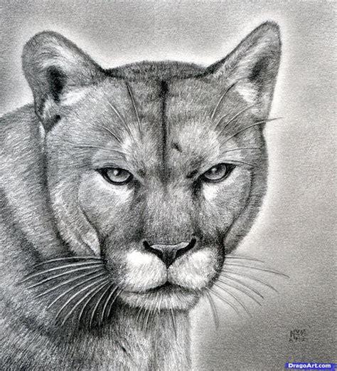 draw  realistic puma mountain lion step  step