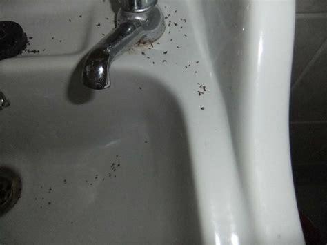 small bugs  sink similiar tiny bugs  bathroom sink