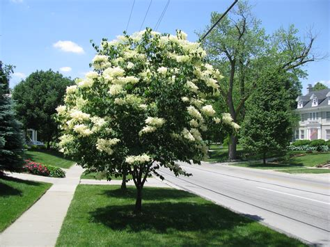 Lilac Tree by Plant Of The Month Japanese Tree Lilac Community