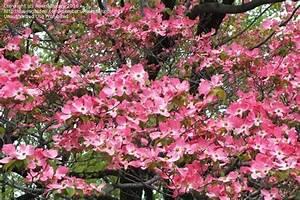 Cornus Florida Rubra : plantfiles pictures pink flowering dogwood cornus florida f rubra by salmonme ~ Frokenaadalensverden.com Haus und Dekorationen