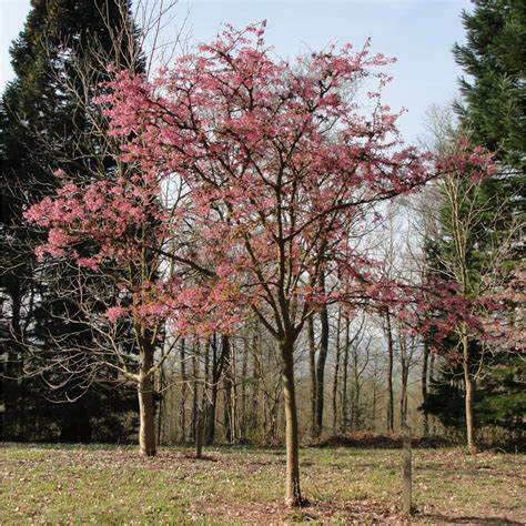 prunus flowering cherry flowering cherry kursar prunus 20 tall plant