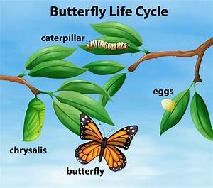 Butterfly Life Cycle Diagram Stock Vector