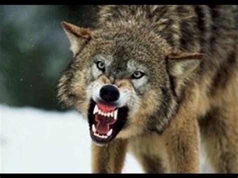 idaho grey wolf hunt youtube
