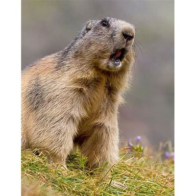 119 best images about Wild- Rodentia on Pinterest