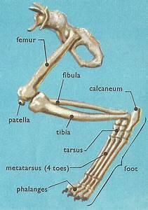Bones In A Domestic Cat U0026 39 S Leg
