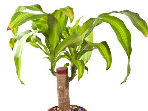 braune spitzen zimmerpflanzen drachenbaum krankheiten