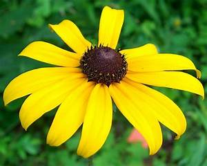 Maryland State Flower - Black-Eyed Susan ProFlowers Blog