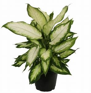 Costa, Farms, Live, Indoor, 12in, Tall, Dieffenbachia, Plant, In, 6in, Grower, Pot