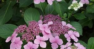 Hydrangea Paniculata Schneiden : hortensien die gro e vielfalt mein sch ner garten ~ Lizthompson.info Haus und Dekorationen