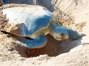 Nesting Flatback Turtle (2) | Sail Darwin!