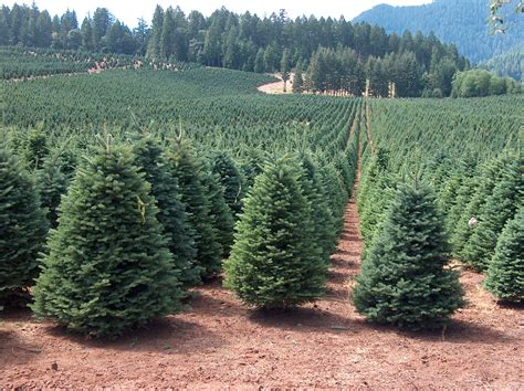 christmas tree farms in oregon christmas decore