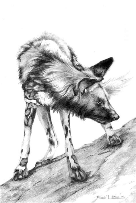 grrrr african wild dog drawing   wild dogs