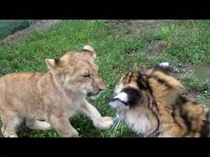 Baby Lion & Tiger playing | PopScreen