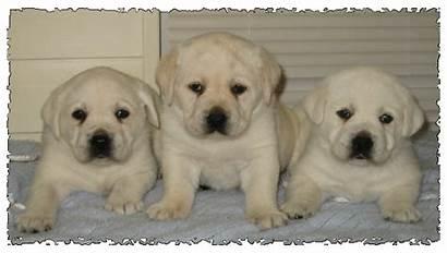 Lab Puppies Polar Bear Puppy