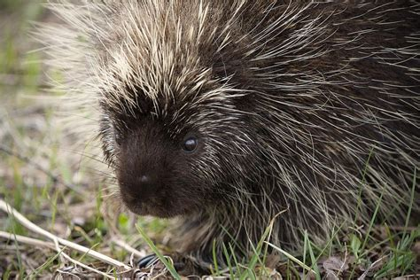 Porcupine Quills And  Ee  Dogs Ee    Ee  Facts Ee   And What To Do