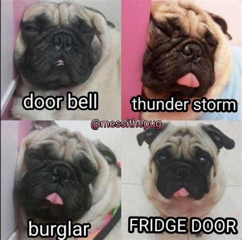 Funny Pug Memes - funny pug dog meme lol from messithepug animal laughs pinterest my boys boys and dads