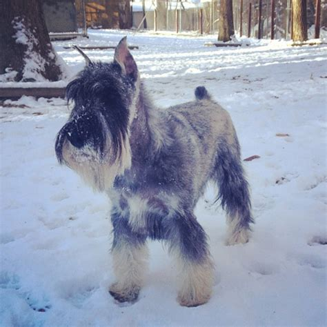 Do Schnauzer Dogs Shed Hair by 10 New Non Allergenic Breeds