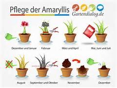 Pflege Amaryllis Nach Der Blüte Amaryllis Hippeastrum Ist Verbl Ht