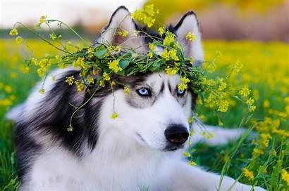 Husky Dog Siberian Wallpapers Animals 4k Backgrounds