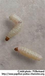 Mites Alimentaires Cycle De Reproduction : la mite alimentaire ou mite de la farine penntybio ~ Dailycaller-alerts.com Idées de Décoration