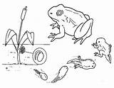 Tadpole Frog Evolution Coloring Template Pollywog Pages Drawings Sketch sketch template
